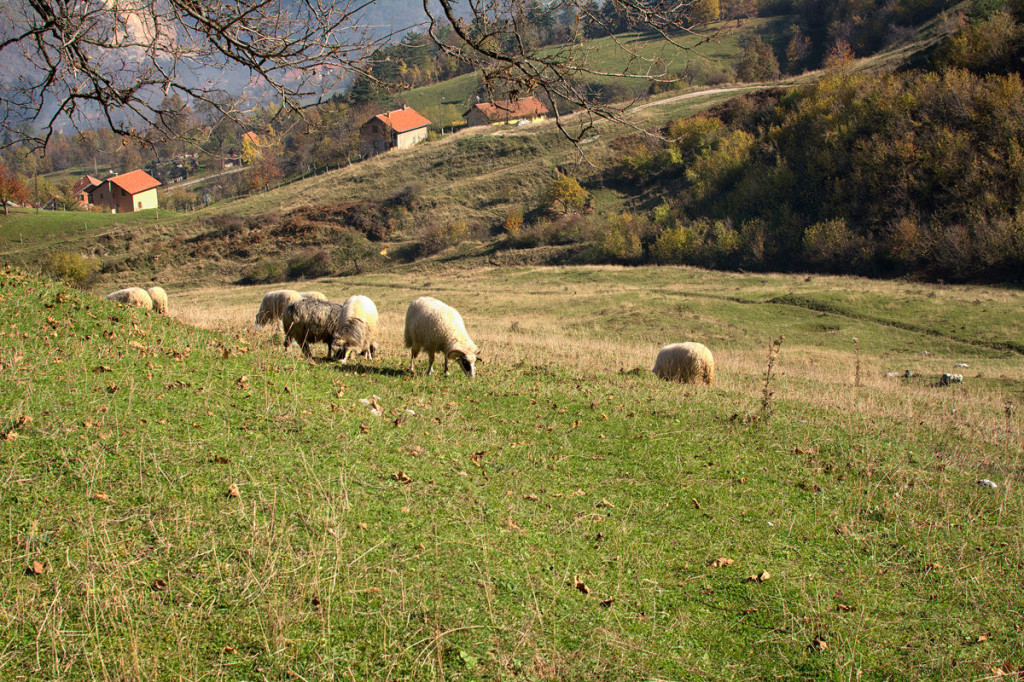Sheep grazing in a pasture near the track